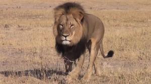150727-cecil-lion